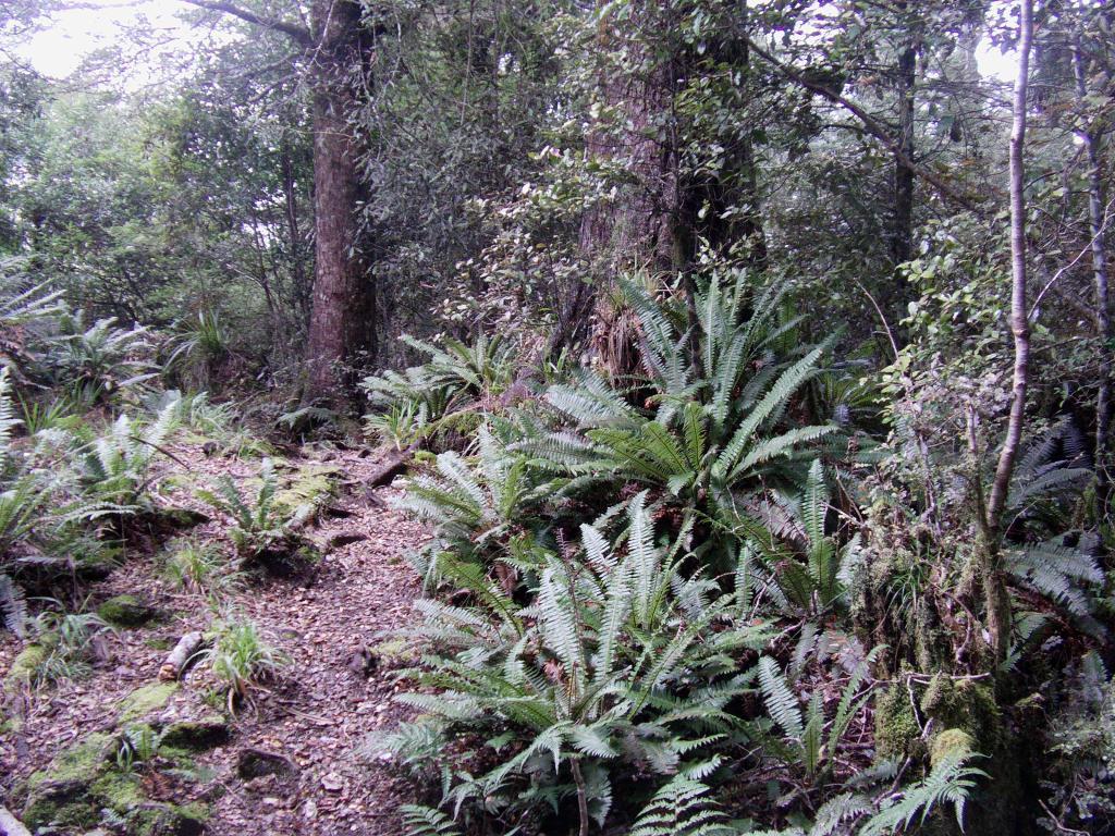 Fougères argentés en Nouvelle Zélande