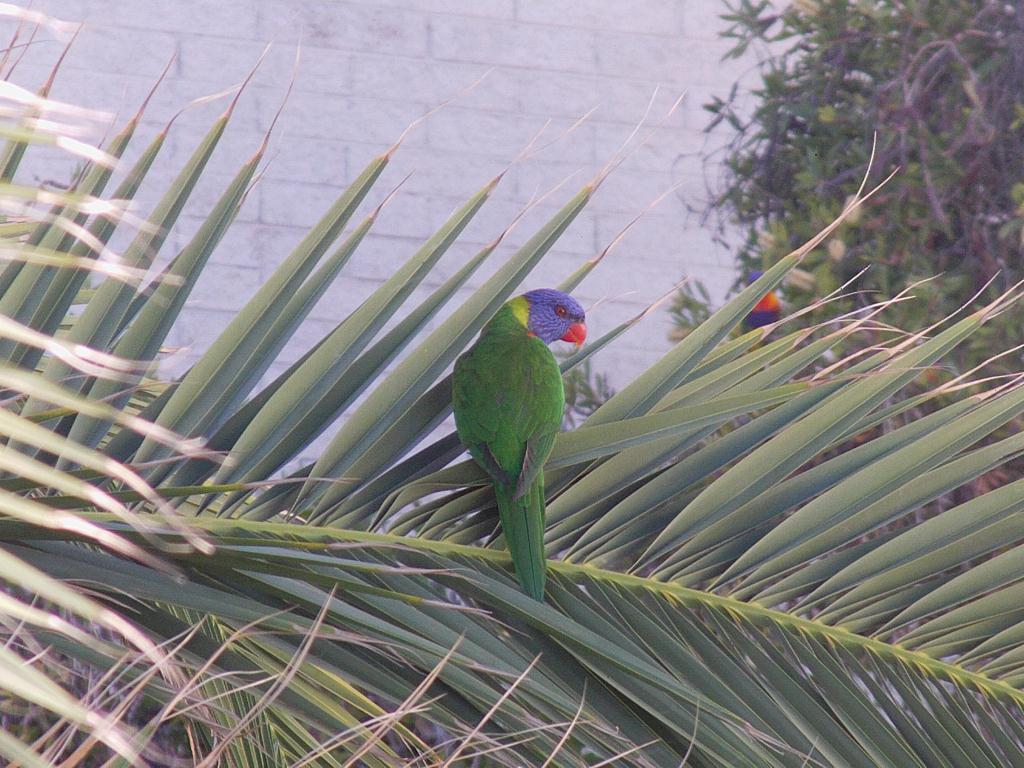 Perroquet en Australie