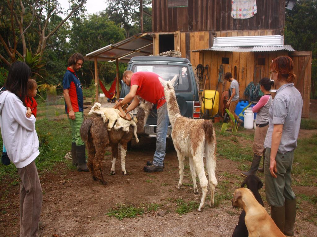 Les lamas et Ingos