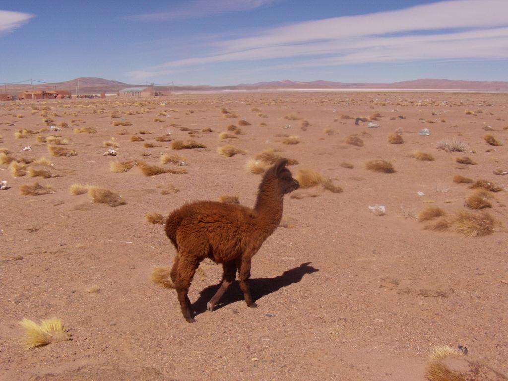 Lama dans le desert d´Atacama