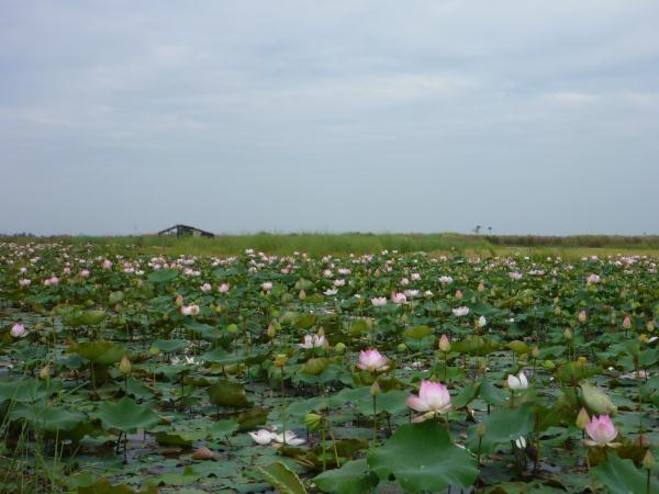 Champ de fleurs de lotus