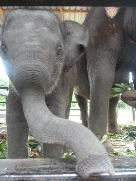 P1110203 élephant thailande