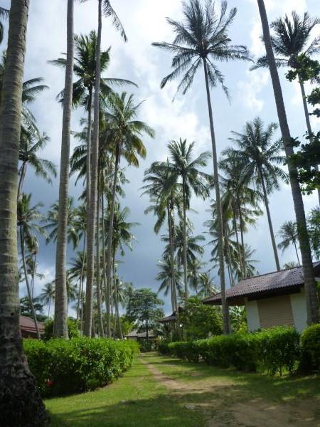 P1110214 thailande cocotiers ko muk