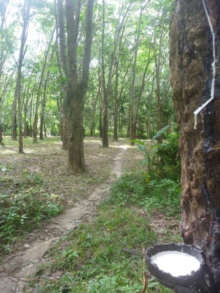 P1110296 hévéa arbre à caoutchouc latex thailande ko muk