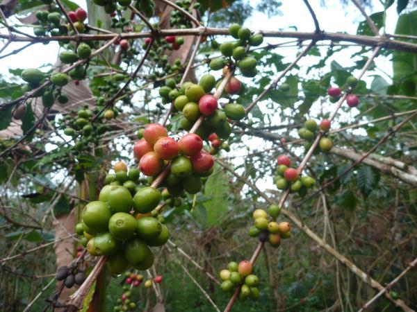 Les graines de café