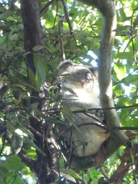 P1150638_koala_australie