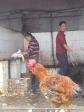 p1070307 - Choisi ta poule et tu repars avec dans 5 minutes !