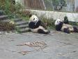 p1070471 - Pandas