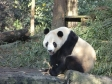 p1070475 - Pandas