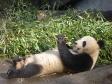 p1070495 - Pandas