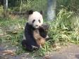 p1070496 - Pandas