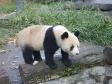 p1070506 - Pandas