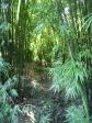 p1070532 - Dans la foret de bambous !