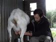 p1150703bis-julien-milking