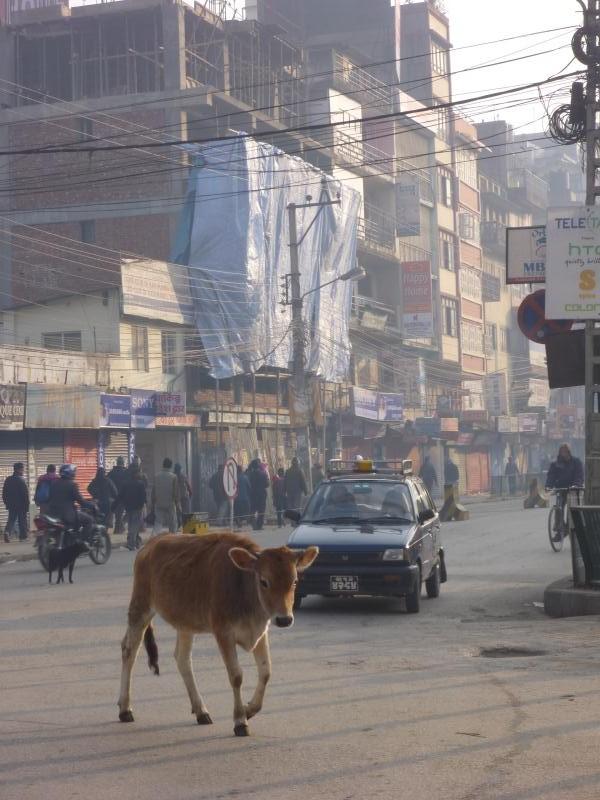 Les vaches sacrées sont comme chez elles, au milieu des rues piétonnes ou des grandes routes, elles marchent de poubelles en poubelles pour trouver de la nourriture.