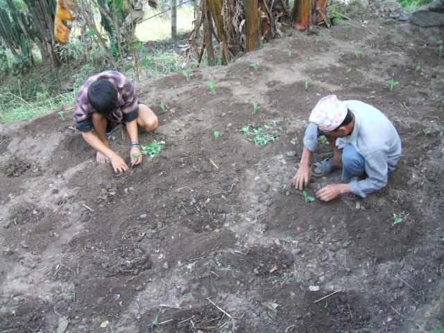 Planter les légumes