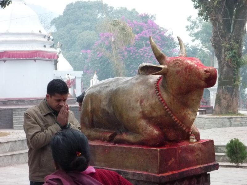 Prière et vache sacrée... L'Inde n'est pas très loin.