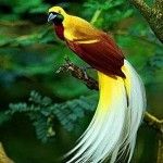white-tailed-bird-paradise